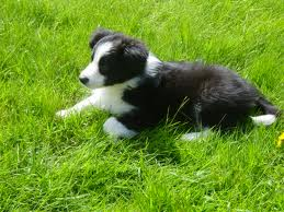 Scottish Border Collie